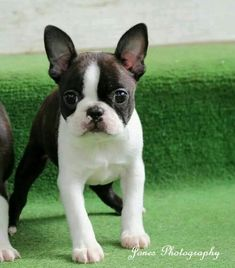 Stunning Boston Terrier puppy