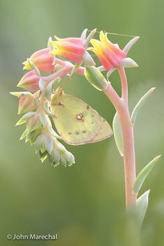 My childhood favorite!  Clouded Sulphur Butterfly (Colias philodice)