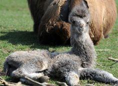Baby camel 2