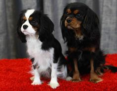 Cavalier King Charles Spaniel - Tri Color <3