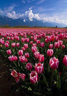 Goedemorgen waarblijftdelente hollandse tulpen