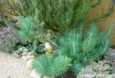 The Joy Us Garden Front Garden - a variety of succulents & a 7' rosemary.