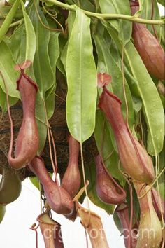 Pitcher Plant native to the Philippines, Malaysia, Borneo and Sumatra. Its has a vigorous scrambling habit, large leaves and smooth pitchers.