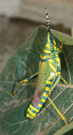 Painted Grasshopper (Poekilocerus pictus), India