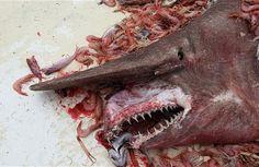 un requin gobelin remonté dans les filets d'un pêcheur au large du Mexique, Photo: Carl Moore/courtesy of NOAA
