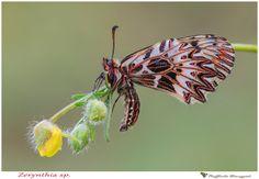Zerinthia sp. by Raffaella Coreggioli on 500px