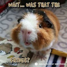 From the Guinea Pig Is My Best Friend Facebook page