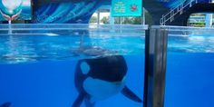 petition: California: Enact Legislation to Release the 11 Orcas Suffering at Sea World San Diego!