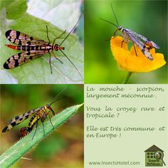 #Mouche-scoropion #Panorpe #Panorpa #insectes #InsectHotel #insecte #nature #biologie #animal #animaux #biodiversité #biodiversity #faune #wildlife www.InsectsHotel.com
