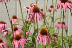Harness the healing power of the flower garden by making echinacea flower infused honey to boost the immune system in this sweet home remedy.