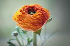 Flower, Ranunculus, Orange, Flowers
