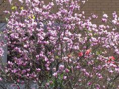 Purple-colored blooming bush