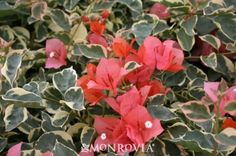Monrovia's Bengal Orange Bougainvillea details and information. Learn more about Monrovia plants and best practices for best possible plant performance.
