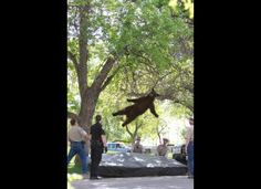 Awesome picture of a falling bear! Thankfully Mr. Bear is ok!