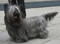 Learn everything about Skye Terrier Dogs. Find all Skye Terrier Dog Breed Information, pictures of Skye TerrierDogs, training, photos and care tips. Rare Dogs, Rare Dog Breeds, Small Dog Breeds, Small Dogs, Small Breed, Skye Terrier, Terriers, Treeing Walker Coonhound, Cane Corso