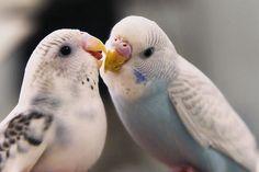 Budgie kiss :)