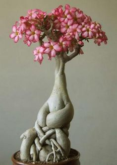 ★☯★ ☽ #Bonsai #Tree or #bonzai ☾ ★☯★  Desert Rose Adenium Obesum Natural Bonsai