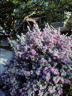 Leucophyllum frutescens (Cenizo) (Purple Sage Bush) #23033