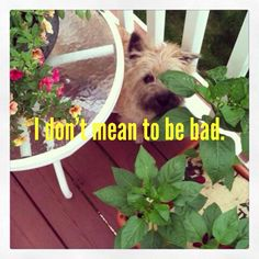 Mamie, the Cairn Terrier, hiding out in the garden.