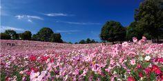 圧巻のスケールで広がるコスモス畑。 お花畑がどこまでも続いているような、、まさに絶景です。
