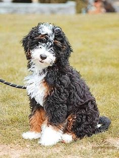 Miniature, Micro Mini, and Australian Bernedoodle Puppies for Sale - Alpine Bernedoodles What is your dream Dog? Looking for my next family member Cute Dogs And Puppies, Puppies For Sale, Doggies, Dog For Sale, Beauceron Dog, Labradoodles, Goldendoodles, Cockapoo, Bernadoodle Puppy