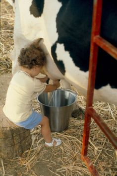 This is amazing, it's hard to milk a cow but this little child is having no problem with it!