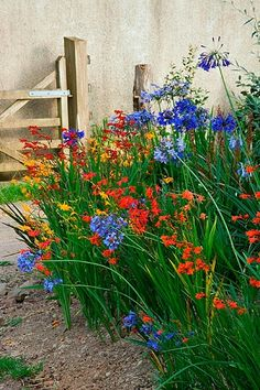 Great combination, but deer eat agapanthus.~~ Devon agapanthus: Agapanthus and crocosmia ~~ Beautiful Gardens, Beautiful Flowers, Crocosmia, Cottage Garden Design, Garden Borders, Colorful Garden, Back Gardens, Dream Garden, Garden Path