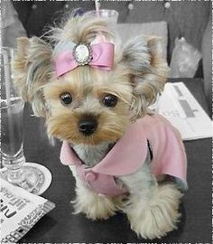 female teacup yorkie to dress in pink