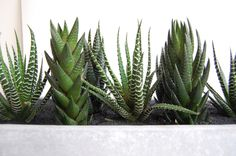 "Cactus Garden // Cement Planter Our white-washed cement planters have a cool, urban vibe. Paired with a modern cactus collection and black sand surface layer they combine nature and architecture perfectly.    What's in the box?  White-washed cement planter 12"" x 3"" x 3.5"" (H) 3 x zebra cacti 4 x Haworthia cacti Small bag of gravel Potting soil Black sand Finishing brush"