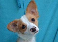 Petango.com – Meet Kyle, a 1 year Terrier / Chihuahua, Short Coat available for adoption in VISALIA, CA