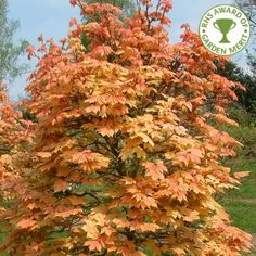 **Tree - Acer pseudoplatanus 'Brilliantissimum Position: full sun or partial shade Soil: fertile, moist, well-drained soil Rate of growth: slow-growing Flowering period: April to May Flower colour: yellow-green Other features: clusters of red winged fruit in late summer Hardiness: fully hardy