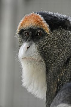 De Brazza's Monkey (genus: single-orange-eyebrowed, species: white-bearded monkey...) // by Truus Zoo