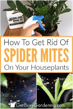 Is there white webbing on the leaves or stems of your indoor plants? Those are caused by a common pest called spider mites. They are very little insects that suck the sap out of houseplants, leaving them looking dull, dried out, or dirty. If you see webs with tiny spiders or mites crawling on your houseplants, then follow these step by step instructions to use all-natural treatment products and methods to get rid of these destructive bugs for good, and prevent them from ever coming back! Tiny Spiders, Get Rid Of Spiders, Gardening For Beginners, Gardening Tips, Diy Projects On A Budget, Spider Mites, Spider Plants, Growing Seeds, Garden Pests