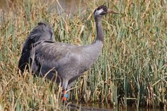 """wild Common Crane ""Grus grus"""