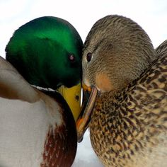 A pair of Mallards cuddling on a cold winter's day near Green Bay, Wisconsin.