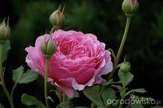 Ogród dla roślin o mocnych nerwach - strona 533 - Forum ogrodnicze - Ogrodowisko