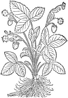 A brief list of 15th & 16th c herbals at the New York Botanical Garden