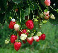 Piemonte: la coltivazione fuori suolo della fragola, un'opportunita' per l'orticoltura - soilless strawberry culture on perlite and coco substrate