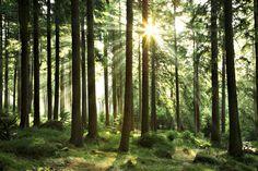 Sunbeam through Trees - Tapetit / tapetti - Photowall