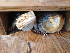Sneaky beardies gonna get that superworm! Bearded Dragon Funny, Snakes, Lizards, Dragon Names, African Grey Parrot, Pet Life, Reptiles And Amphibians, Animals Of The World, Pet Store
