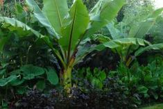 Tropical border featuring Ensete Ventricosum
