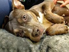 Pictures of Dolly a Pit Bull Terrier for adoption in New York, NY who needs a loving home.