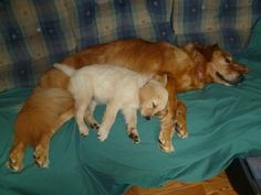 My Cute Golden Retrievers - Tucker and Olive the Puppy. Theyre best friends. :) animal-love