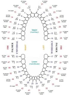 Updated Dental Tooth Numbering Chart with Multiple Systems Shown  #Dentaltown #DentalToothNumberingChart