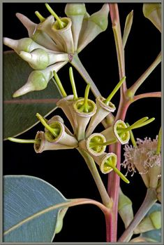 A close up view of the Eucalyptus robusta buds.