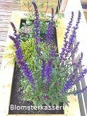 Isolert blomsterkasse i tre. Blomsterkasseriet. Salvia i blomsterkasse.