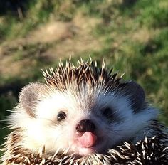 """THEIR  TONGUES  ARE  KILLIN'  ME!!!   And if their personalities are even remotely what is reflected in their photo """"shoots""""???  I'm in love!!! t Orig: Hedgehog Happiness"""