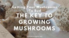 The Key To Growing Mushrooms: Getting Mushrooms To Bud Mushroom Spores, Growing Mushrooms, Bud, Keys, Stuffed Mushrooms, Facts, Simple, Stuff Mushrooms, Key