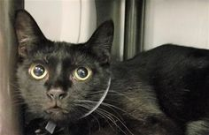 MAXI - 21583 - - Brooklyn  *** TO BE DESTROYED 03/03/18 *** Pretty To The Max! MAXI Kitty Lived With 17 Other Cats! She's A Little Fearful Here, PLEASE HELP HER TODAY! MAXI is a 4 year old girl who was brought to the shelter. She has a small mass in her right hind paw and needs follow up care.  She is nervous and would love to find a home asap. -  Click for info & Current Status: http://nyccats.urgentpodr.org/maxi-21583/