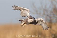 Snowy Owl in flight. Kevin Ebi